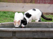 Barn cats drinking from the trough
