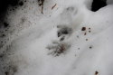 Winter Wildlife Walk, animal print in the snow