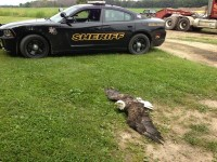 Bald Eagle lying on the ground awaiting DNR arrival